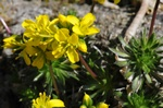 Yellow Whitlowgrass (Draba aizoides)